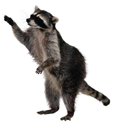 raccoon jackson 12 pet